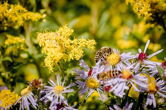 Abeilles fleurs locales